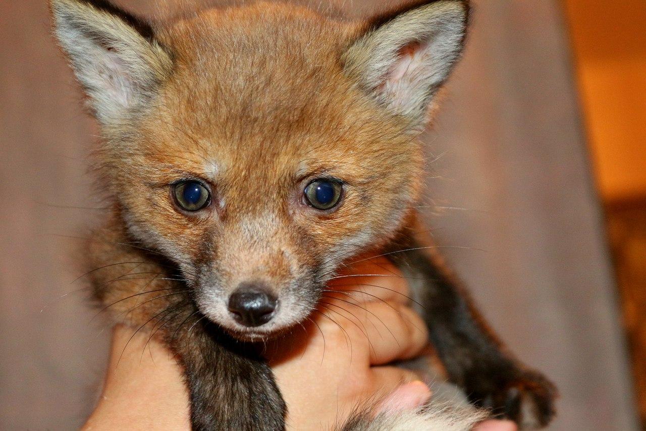 Fox Fanta